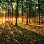 2226P8___forest_trees_beam_light
