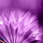 257P8 purple dandelion