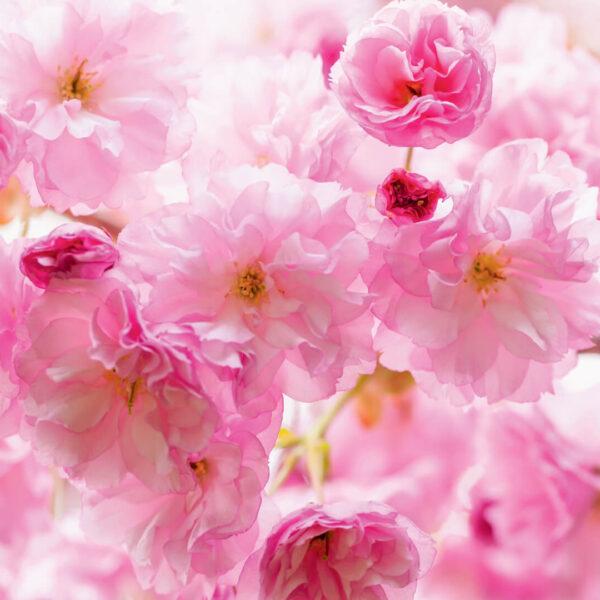 wm012p4 rose roses in bloom
